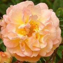 Ghislaine de Feligonde - Rambling Rose by Peter Beales