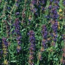 Hyssop (3 Plants) Organic