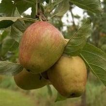 Organic Adam's Pearmain Dessert Apple - Semi Dwarf