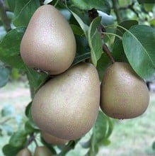Organic Beurre Hardy Dessert Pear Trees