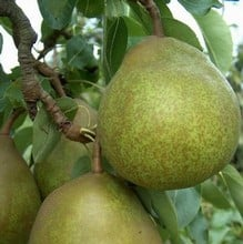 Organic Beurre Superfin Pear Tree