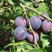 Organic Blue Tit Plum Tree