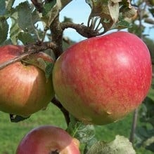 Organic Bountiful Apple Trees