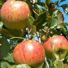 Organic Charles Ross Apple Trees