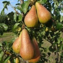 Organic Concorde Pear Trees