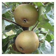 Organic Egremont Russet Apple Trees