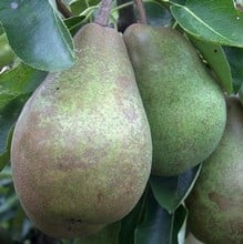 Organic Glou Morceau Pear Tree