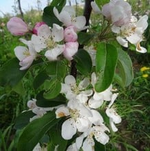 Organic Gorgeous Crab Apple Trees