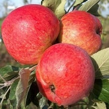 Organic Harry Masters Jersey Cider Apple Trees