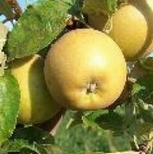 Organic Herefordshire Russet Apple Trees