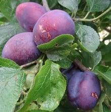 Organic Herman Plum Tree