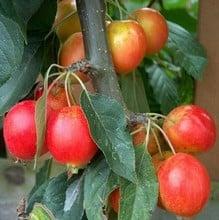 Organic John Downie Crab Apple Trees
