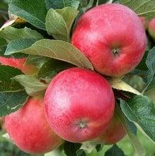 Organic Katy Apple Trees