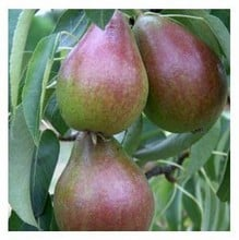 Organic Louise Bonne of Jersey Dessert Pear Trees