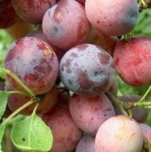 Organic Opal Plum Tree