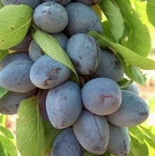 Organic Purple Pershore Plum Tree