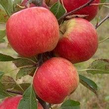 Organic Red Falstaff (R) Apple Trees