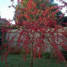Organic Red Sentinel Crab Apple Tree