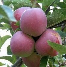 Organic Spartan Apple Trees