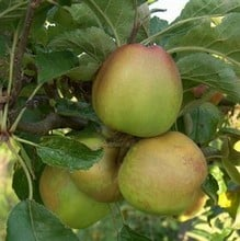 Organic Sturmer Pippin Apple Trees