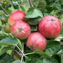 Organic Tom Putt Cider Apple Trees