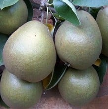 Organic Worcester Black Pear Tree