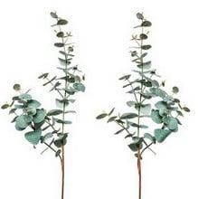Pair of Eucalyptus Stems by Sia