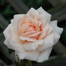 Penny Lane - Climbing Rose by Peter Beales