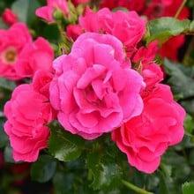 Pink Flower Carpet Rose by Peter Beales