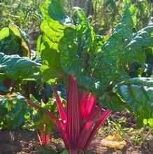 Rainbow Chard (10 Plants) Organic