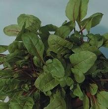 Rhubarb Chard (10 Plants) Organic