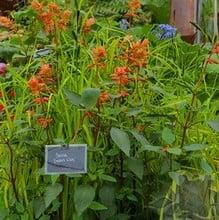 Salvia Embers Wish