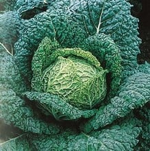 Savoy Cabbage Vertus (10 Plants) Organic