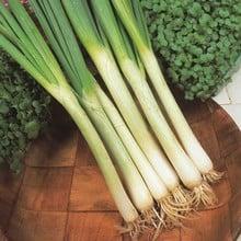 Spring Onions White Lisbon (20 Plants) Organic