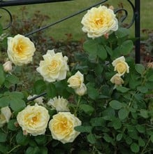 Stamford's Sanctuary - Climbing Rose by Peter Beales