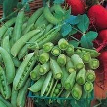 Sugar Snap Peas (10 Plants) Organic
