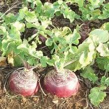 Swede Marian (10 plants) Organic