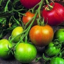 Tomato Tigerella (5 Plants) Organic