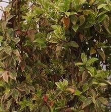 Trachelospermum jasminoides Variegata