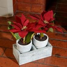 Twin Poinsettias in Ceramic Pots