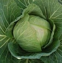 White Cabbage (10 Plants) Organic