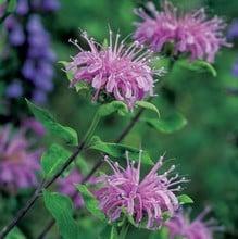 Wild Bergamot (3 plants) Organic