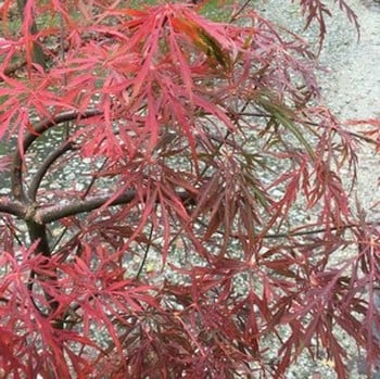 Acer Palmatum Dissectum Lionheart Harrod Horticultural