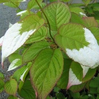 Actinidia kolomikta - Variegated Kiwi Plant
