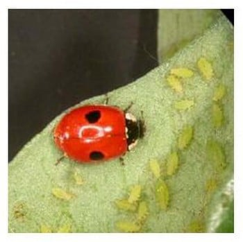 Aphid Control using Ladybirds