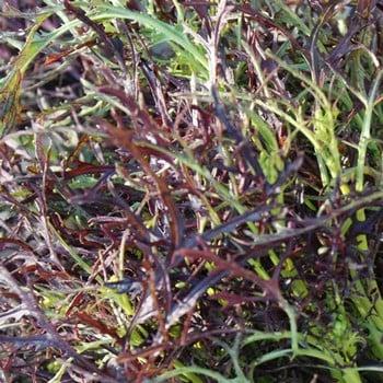 Autumn - Frills Mustard (10 Plants) Organic
