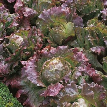 Autumn - Lettuce Marvel of Four Seasons (10 Plants) Organic