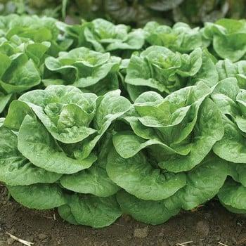 Autumn - Lettuce Winter Density (10 Plants) Organic