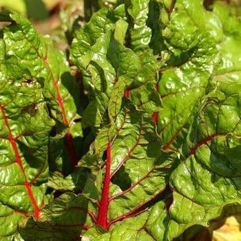 Autumn - Rainbow Chard - Bright Lights (10 Plants) Organic