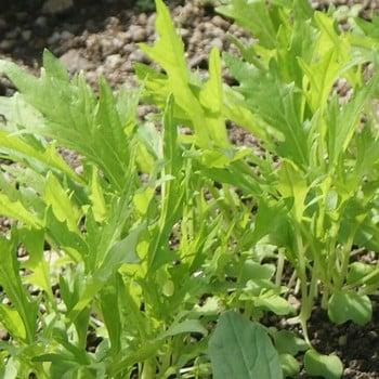 Autumn - Wild Rocket (10 Plants) Organic